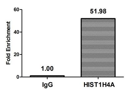 Chromatin Immunoprecipitation(ChIP) - Propionyl-HIST1H4A (K8) Antibody