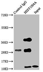 Immunoprecipitation(IP) - HIST1H4A (Ab-12) Antibody