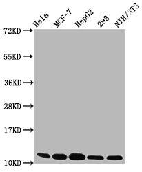 Western Blotting(WB) - HIST1H4A (Ab-12) Antibody