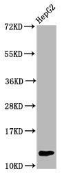 Western Blotting(WB) - HIST1H4A (Ab-59) Antibody