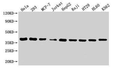 Western Blotting(WB) 3- HTRA2 Antibody