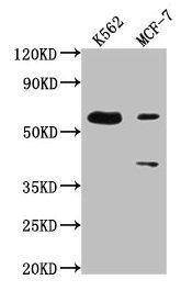 Western Blotting(WB) - PTBP3 Antibody