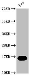 Western Blotting(WB) - mturn Antibody