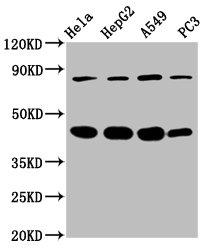 Western Blotting(WB) - PIK3R6 Antibody