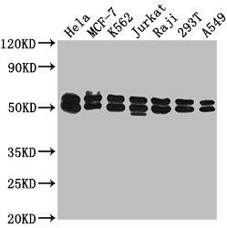 Western Blotting(WB) - DNAJA3 Antibody