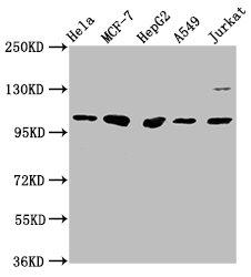 Western Blotting(WB) - GANC Antibody