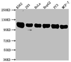 Western Blotting(WB) - ITCH Antibody