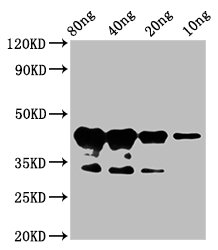 Western Blotting(WB) - MYB75 Antibody