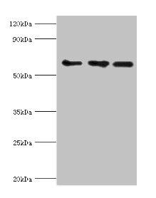 Western Blotting(WB) - ABCE1 Antibody