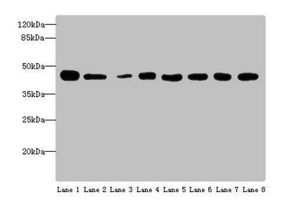 Western Blotting(WB) - ACTL6A Antibody