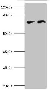 Western Blotting(WB) - CTCF Antibody