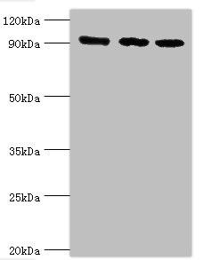 Western Blotting(WB) - MCM3 Antibody