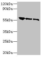 Western Blotting(WB) - G Antibody