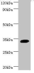 Western Blotting(WB) 1- SOX2 Antibody