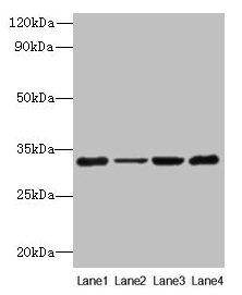 Western Blotting(WB) - PDCD1 Antibody