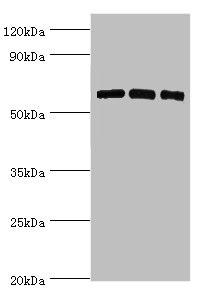 Western Blotting(WB) - PRKAA2 Antibody