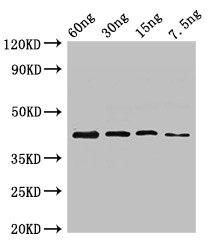 Western Blotting(WB) - ugl Antibody