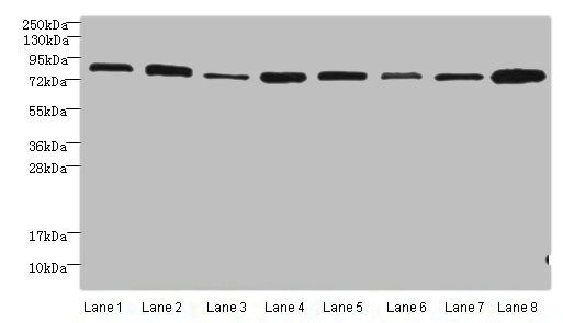 Western Blotting(WB) - AGO2 Antibody