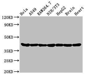 Western Blotting(WB) - ACTA1 Antibody