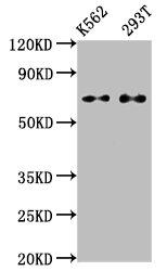 Western Blotting(WB) - ATF2 Antibody