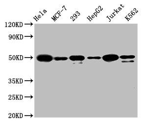 Western Blotting(WB) - ATF4 Antibody