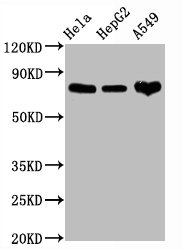 Western Blotting(WB) - CD44 Antibody