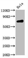 Western Blotting(WB) - CD86 Antibody
