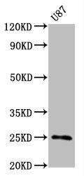 Western Blotting(WB) - CD9 Antibody