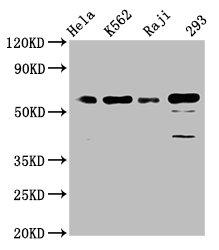 Western Blotting(WB) - CDC25C Antibody