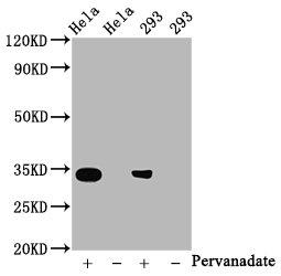 Western Blotting(WB) - Phospho-CDK2 (Y15) Antibody