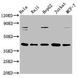 Western Blotting(WB) - FEN1 Antibody