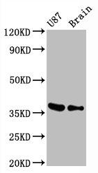 Western Blotting(WB) - GAPDH Antibody