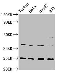 Western Blotting(WB) - HAMP Antibody