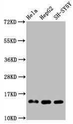 Western Blotting(WB) - Mono-methyl-Histone H3.1(R2)Antibody