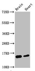 Western Blotting(WB) - Di-methyl-Histone H3.1(K4)Antibody