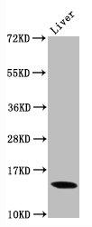 Western Blotting(WB) - Di-methyl-Histone H3.1(K9)Antibody