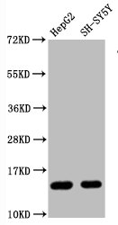 Western Blotting(WB) - Mono-methyl-Histone H3.1(R128)Antibody