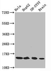 Western Blotting(WB) - Acetyl-Histone H3.1(K14)Antibody