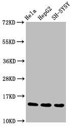 Western Blotting(WB) - Mono-methyl-Histone H3.1(R17)Antibody