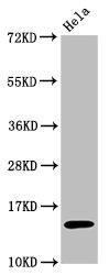 Western Blotting(WB) - Acetyl-Histone H3.1(K56)Antibody