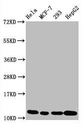 Western Blotting(WB) - Acetyl-Histone H4 (K5) Antibody