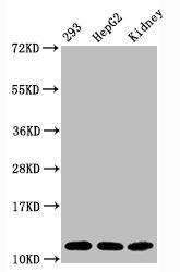 Western Blotting(WB) - Acetyl-Histone H4 (K16) Antibody