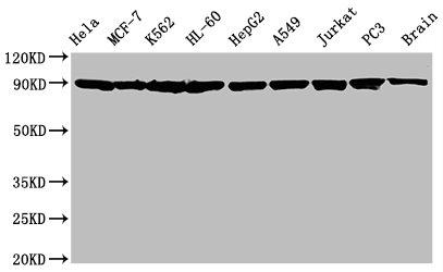 Western Blotting(WB) - HSP90AA1/HSP90AB1 Antibody