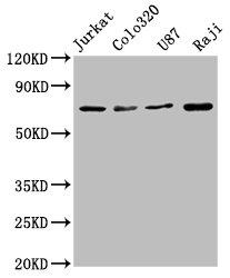 Western Blotting(WB) - HSPA8 Antibody