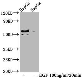 Western Blotting(WB) - Phospho-MYC (T58+S62) Antibody