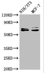 Western Blotting(WB) - SRC Antibody