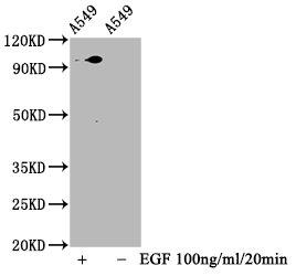Western Blotting(WB) - Phospho-STAT3 (S727) Antibody