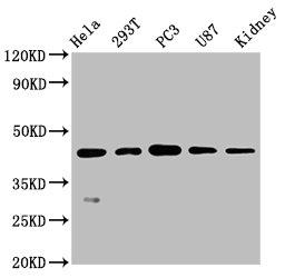 Western Blotting(WB) - NDRG1 Antibody