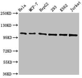 Western Blotting(WB) - CDC5L Antibody