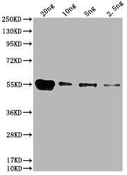 Western Blotting(WB) 1- 6*His Monoclonal Antibody